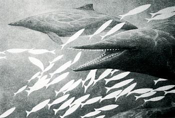 鲸的种类-15楼西蒙海豚,新发现没几年的,是一类全新的海豚.自己独立成一西